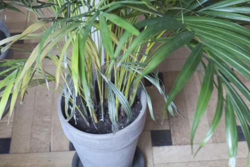 zobacz w tek areka chrysalidocarpus lutescens piel gnacja i problemy. Black Bedroom Furniture Sets. Home Design Ideas