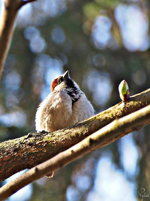 Wiosenny wróbelek. Wróbel zwyczajny, samiec (Passer domesticus)