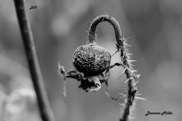 Owoc dzikiej róży