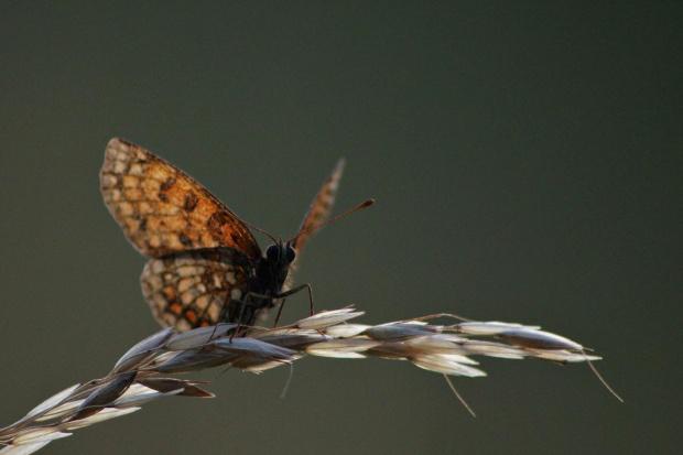 wieczorny motylek
