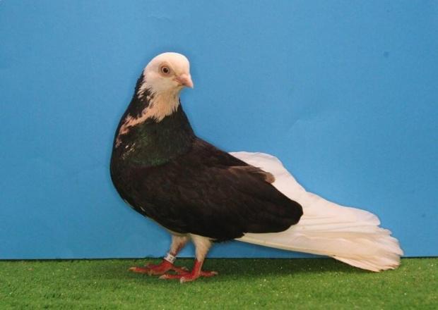 Zaktualizowano Zobacz temat - Gołębie zamojskie QC81