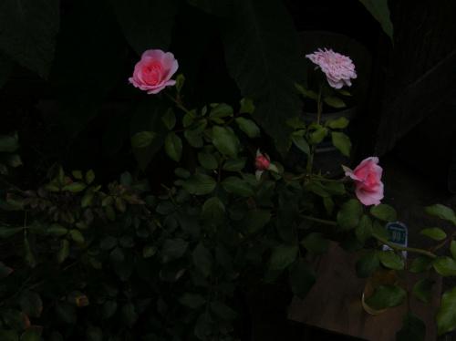 jesienne różyczki